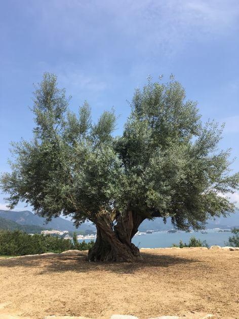 小豆島オリーヴ千年大樹